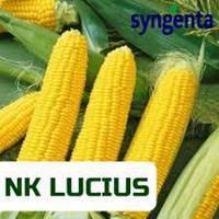 Кукуруза Syngenta НК Люциус (ФАО 340 Среднеспелая)