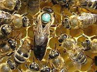 Пчеломатки Карпатка и Карника F-1