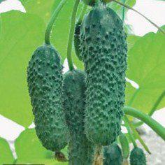 Семена огурца Анзор F1 (250 сем.)