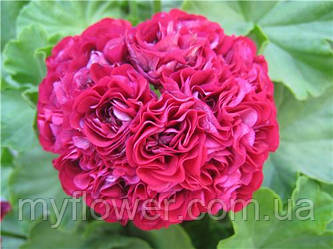 Розебудная пеларгония Ungarisk Appleblossom Rosebude