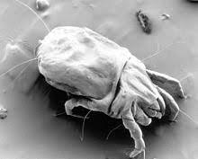 Аллергены клещей (d.farinae 50,00%+ d.pteronyssinus 50,00%)