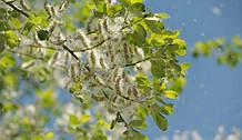 Аллергены весенних деревьев