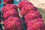 Семена салата Лолло Россо / Lollo Rosso ТМ «Hortus» (Италия), банка 500 грамм, фото 3