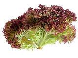 Семена салата Лолло Россо / Lollo Rosso ТМ «Hortus» (Италия), банка 500 грамм, фото 4