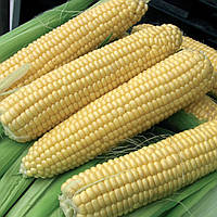 Семена Кукуруза сахарная Лендмарк F1,   1 кг  Clause