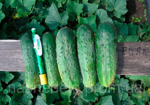 Семена огурца Роял F1 10 гр. Clause