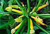Семена кабачка Санлайт F1 1000 семян Clause