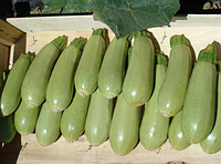 Семена кабачка Асма F1 2500 семян Clause