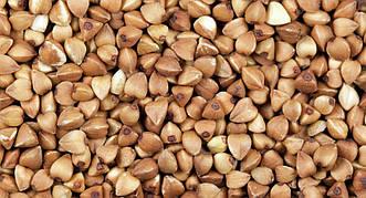 Семена гречихи сорт УКРАИНКА элита 1 репродукция