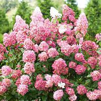 Гортензія волотиста«Пінк Леді» Hydrangea paniculata «Pink Lady»С1 (h-20 см), фото 1