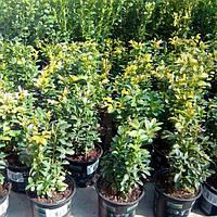 Ваш cад Самшит вечнозеленый (Buxus)