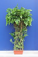 Искусственные деревья - Дерево фикус Бенджамина (латекс)