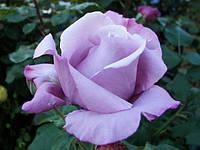 Саджанці троянд Блакитний Ніл