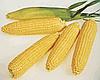 Семена кукурузы сахарной Леженд F1 10 кг. Clause