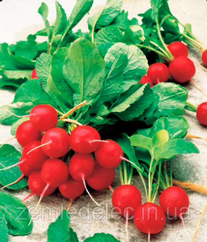 Семена редиса Джолли 500 гр. Clause - Наше дело - сеть магазинов для овощеводов в Мелитополе