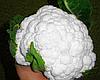 Семена цветной капусты Майбах F1 2500 семян Clause