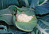 Семена цветной капусты Немо F1 1000 семян Clause