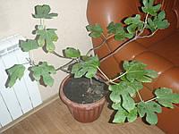 Инжировое дерево 50-80см в вазоне