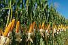 Кукуруза - культура теплолюбивая