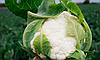 Семена цветной капусты Саборд F1 2500 семян Clause
