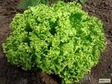 Семена салата Лолло Бионда / Lollo Bionda ТМ «Hortus» (Италия), банка 500 грамм, фото 2