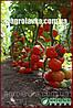 Семена томата индетерминантного ТАЙЛЕР F1(Kitano) 1000с