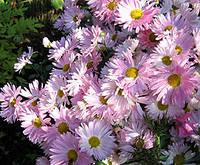 """Хризантема высокая """"ромашка розовая"""""""