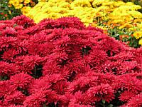 Хризантема высокая красная