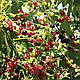 Сальвадора Персидская дерево Зубная Щетка семена, фото 2