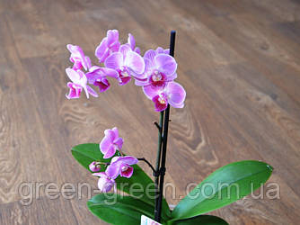 Орхидея Фаленопсис (Мульти) розовая с прожилкой