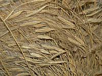 Пшеница однозернянка / Triticum monococcum
