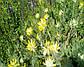 Астрагал шерстистоцветковый трава, фото 3