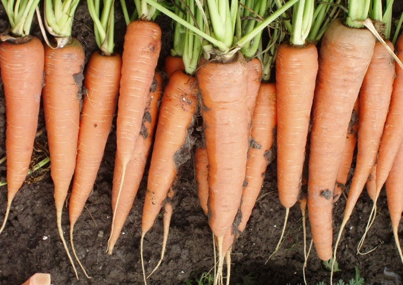 Семена морковь Скарла \ Scarla 0,5 кг  Clause