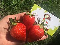 Ягоды КЛУБНИКИ свежей, фото 1