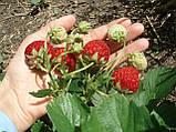 Клубника сушеная 100 грамм домашняя (сушена полуниця) натуральный вяленый сухофрукт, фото 3