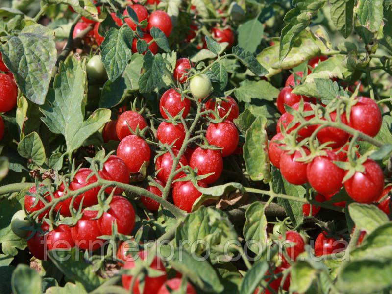 Семена Томата Сомма F1 1000 семян Nunhems