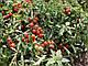 Семена Томата Сомма F1 1000 семян Nunhems, фото 2