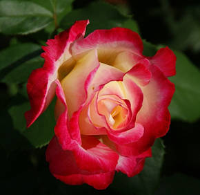 Роза Дабл Делайт (Double Delight) ч/г, фото 2