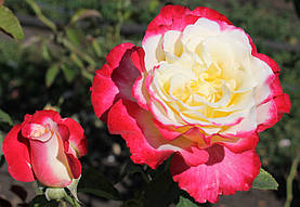 Роза Дабл Делайт (Double Delight) ч/г, фото 3