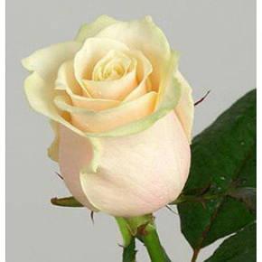 Роза Талея Ч/Г, фото 2