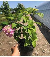 Hydrangea macrophyla Гортензія крупнолиста(рос.:Hydrangea macrophyla Гортензия крупнолистная),C2-C3,1.5-2р