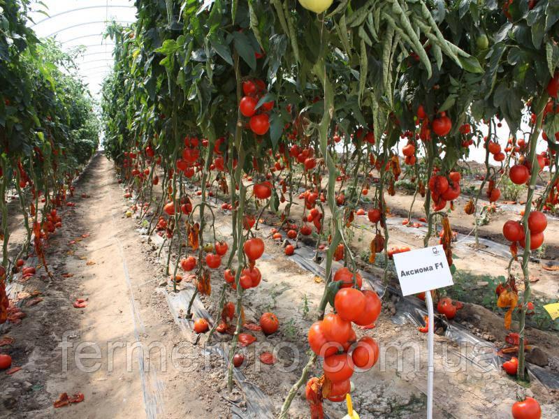 Семена томата Аксиома F1 500 семян Nunhems