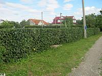 Граб обыкновенный (грабынник). У нас можно купить готовую живую изгородь из граба по самым дешевым ценам в Киеве. Сезонные скидки
