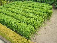 Самшыт вечнозеленый для жывой изгороди. Готовые блоки жывой изгородии из самшыта. Купить у нас самшыт в Киеве - дешево. Сезонная распродажа. Скидки