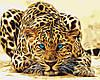 Картина по номерам - Дикая кошка