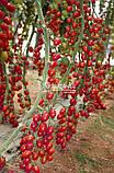 Семена томата ТУТИ-ФРУТИ F1, 250 семян, фото 4