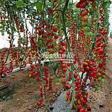 Семена томата ТУТИ-ФРУТИ F1, 250 семян, фото 6
