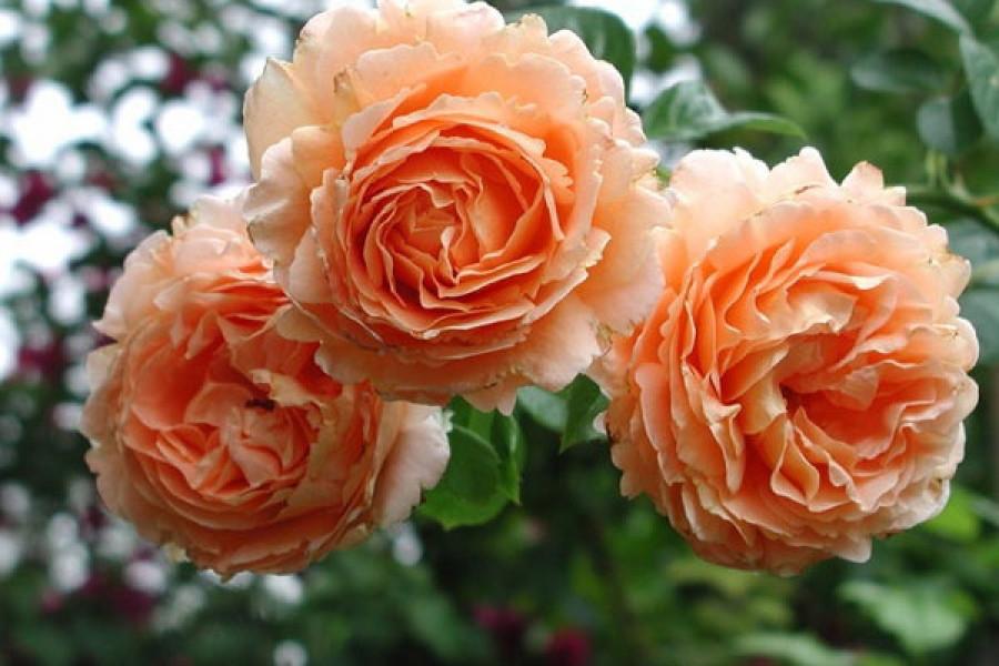 Роза Полька 91 Плетистая