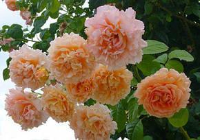 Роза Полька 91 Плетистая, фото 2