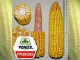 Семена кукурузы ПР39Г83/ PR39G83 (ФАО 230), фото 2